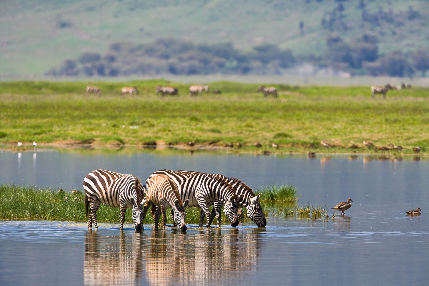 Photo of drinking zebras in the Ngorongoro Crater in Tanzania